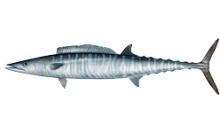 Wahoo, a SC saltwater fish (from Wikipedia)